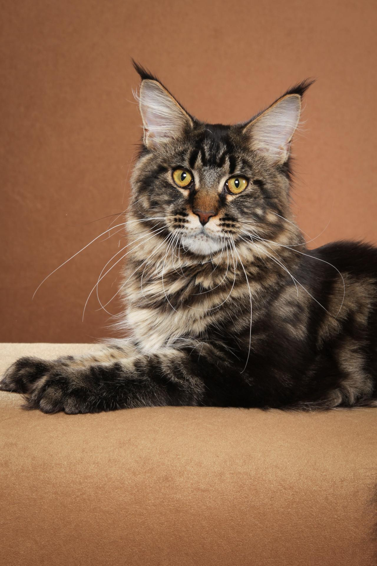DCFD MAINE COONS - RETIRED LOVER - maximus