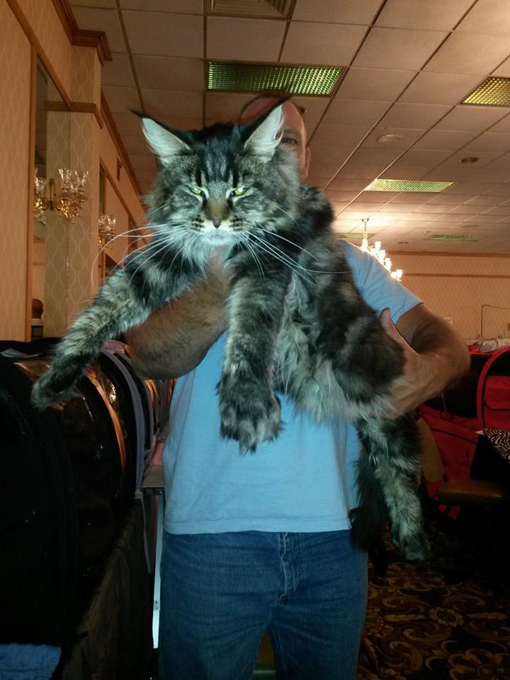 Maine coons for sale ohio